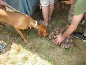 Vizsla and turtle